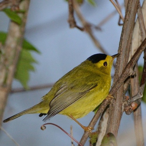 Wilson's Warbler At Cape Disappointment