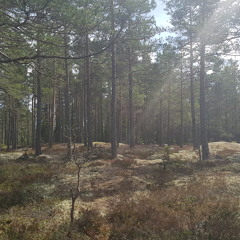 Pine Forest At Pre-Dawn, Sweden, Black River, April 2018