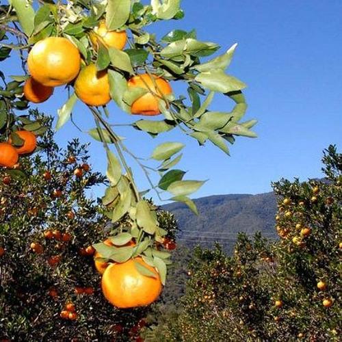 Mexerica: benefícios, produção e a diferença entre os vários tipos