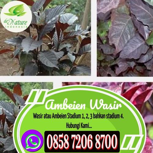 Obat Herbal Oles Untuk Wasir