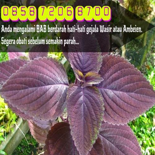 Obat Herbal Wasir Dalam