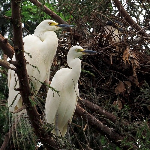 Young Egrets and Herons at Ten Shrine