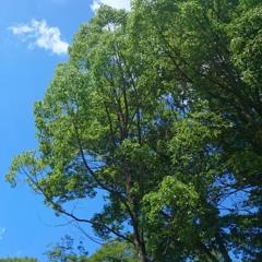 夏木陰(Summer shade of tree)