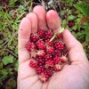 Echenestlēgi- Cloudberry