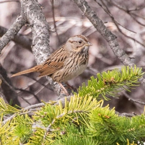 Lincolns Sparrow.WAV