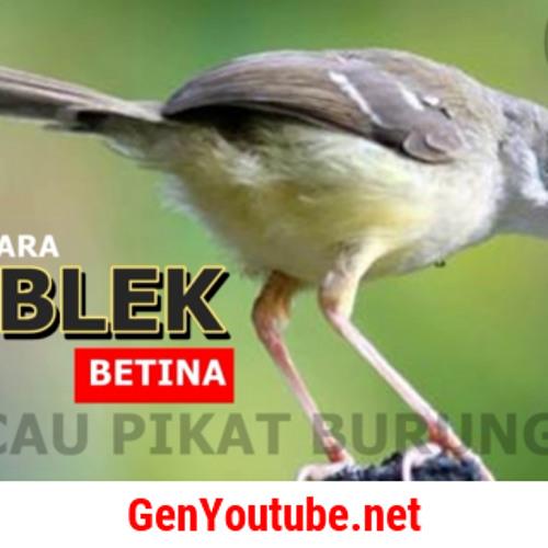 Burung Ciblek By Aditya Yoga Pratama On Soundcloud Hear The World S Sounds
