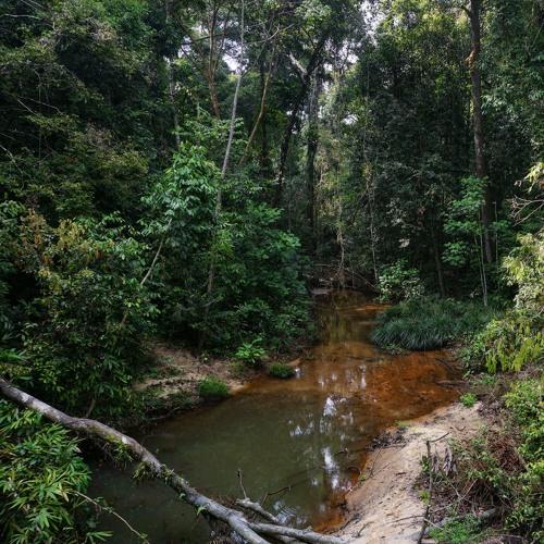 Calm Morning Ambience of a Rich Rainforest | Lambir Hills, Sarawak, Borneo