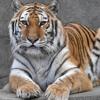 The Big Cats At Brookfield Zoo