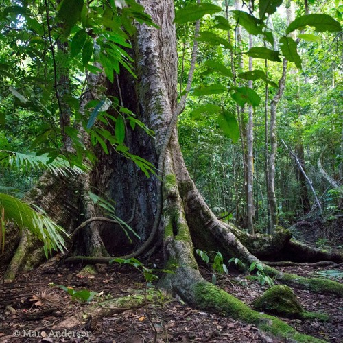 Tangkoko Morning - A Rainforest Soundscape from Sulawesi, Indonesia