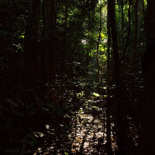 Tangkoko Cicadas - Recorded in Sulawesi, Indonesia.