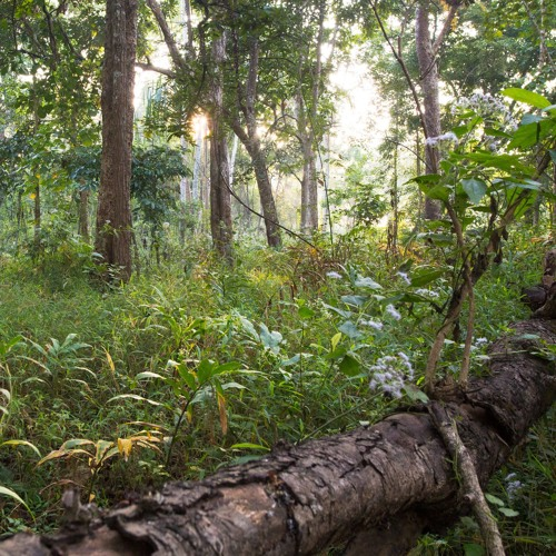 Thung Yai - Dry Dipterocarp Forest in Thailand's Western Forest Complex