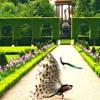Peacocks in the Garden, piano*