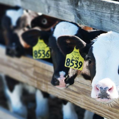Heat Stress in Calves