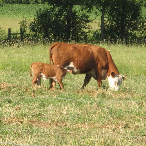 Preconditioning your cattle