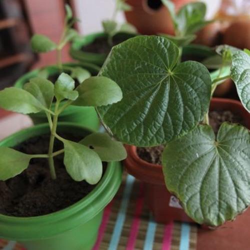 Alimento é Saúde: Conheça plantas medicinais que ajudam no tratamento de doenças respiratórias