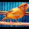 Burung kenari jawara: Kenari Wolverine untuk masteran (Free Download)