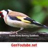 Kicau Burung Gold Finch Gacor Buat Isian (Free Download).mp3