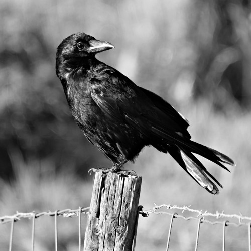Crows [Trap]