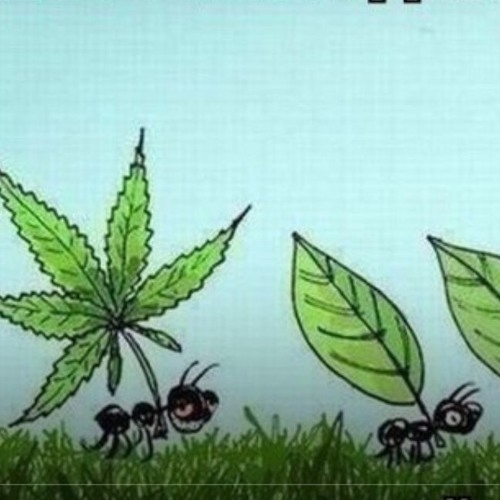 Homie марихуана маньчжурская конопля свойства
