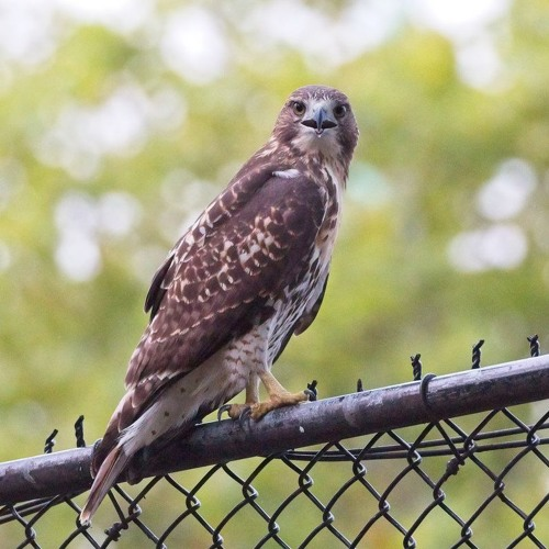 End-of-summer red-tailed hawk talk