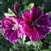 Purple Flower Season