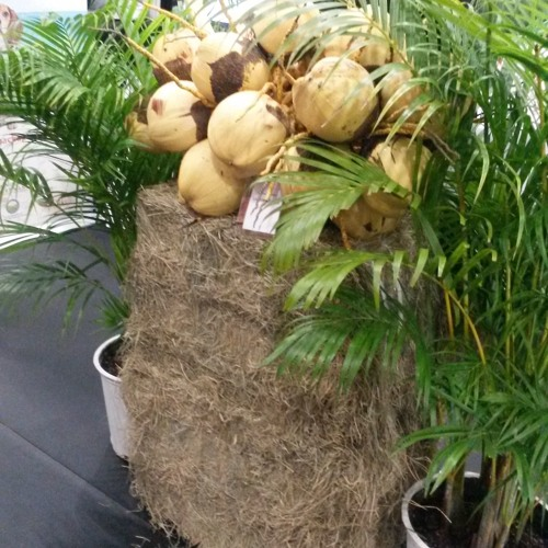 Coconuts to be major attraction at #feature prominently at #CWA2018