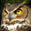 Dramatic entrance of the alpha male Great Horned Owl