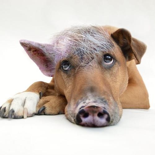 Os porcos de estimação e as gafes da natureza na relação com os humanos