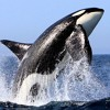 Orca    (Sonar Search)