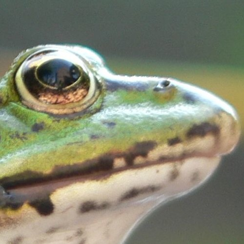 ████ 60% *___* Frog Dings ----