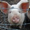 Icelandic Pigs