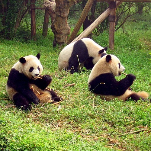 Lung Lung the Captive Panda