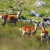 Male Sika Deer Calls - Glendalough, Wicklow, Ireland