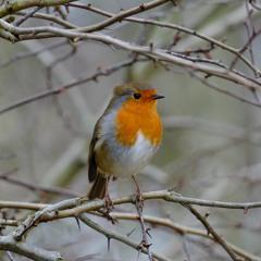 Robin Singing In The Rain - Glendalough, Wicklow, Ireland