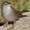 White-crowned Sparrow Song 2