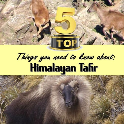 Top 5: Things to know about Himalayan Tahr