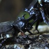The Sweet Sounds Of Japanese Rhinoceros Beetle Love Songs