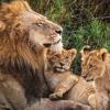 Lion TDS (Uncle Lion)