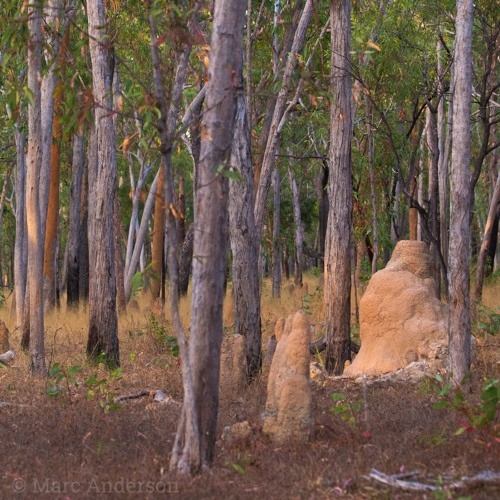 Savanna Woodland - Cape York Peninsula, Australia