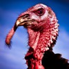 What Do Turkeys Have To Do With Thanksgiving?