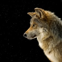 Mexican Wolf (ENG)