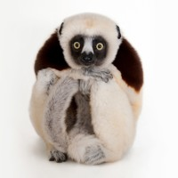 Coquerel's Sifaka (ENG)