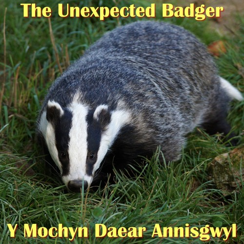 The Unexpected Badger / Y Mochyn Daear Annisgwyl