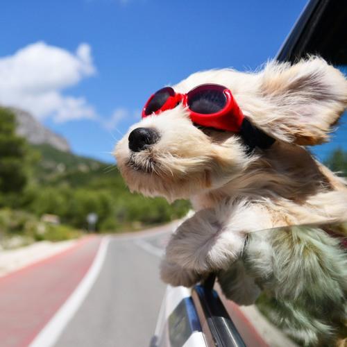 Chauffeur de taxi pour animaux, ça existe !