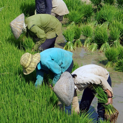 Viet Nam shows how to integrate an agricultural value chain