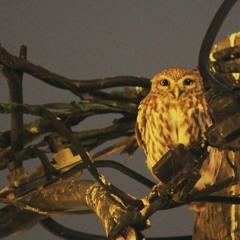 Little Owl, Athene Noctua, Κουκουβάγια Greece.
