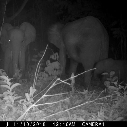 Forest Elephants At Mango Grove