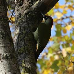 European Green Woodpecker, Picus viridis, Lake Kerkini November 2018