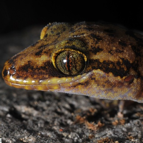 It's raining geckos in Northeast India!