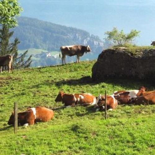 Swiss Up! Cow breeds in Switzerland (January 9 2019)